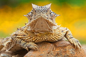 Texas horned lizard (Phrynosoma cornutum) portrait,  Laredo Borderlands, Texas, USA. April - Claudio  Contreras
