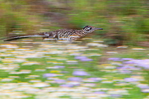Greater roadrunner (Geococcyx californianus) running, Laredo Borderlands, Texas, USA. April  -  Claudio  Contreras