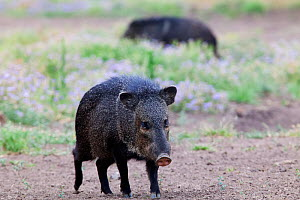 Collared peccaries (Pecari tajacu) Laredo Borderlands, Texas, USA. April - Claudio  Contreras