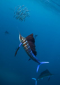 Atlantic sailfish (Istiophorus albicans) attacking school of Sardine (Sardinella aurita) bait ball, Isla Mujeres, Caribbean Sea, Mexico, February - Claudio  Contreras