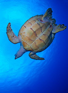 Hawksbill turtle (Eretmochelys imbricata) swimming, viewed from below, Cozumel Reefs National Park, Cozumel Island, Yucatan Peninsula, Mexico, February - Claudio  Contreras