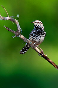 Cactus wren (Campylorhynchus brunneicapillus) perched, Laredo Borderlands, Texas, USA. April  -  Claudio  Contreras