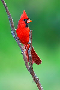 Northern cardinal (Cardinalis cardinalis) male perched, Laredo Borderlands, Texas, USA. April - Claudio  Contreras