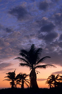 Coconut palm tree (Cocos nucifera) silhouetted at sunset, Contoy Island National Park, near Cancun, Caribbean Sea, Mexico, January  -  Claudio  Contreras