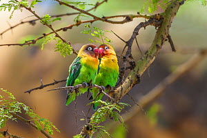 Two Hybrid lovebirds (Agapornis fischeri x A. personatus) Lake Naivasha, Kenya. The hybrids are the result of interbreeding between the native Yellow colllard lovebird (Agaoprnis personatus) and the e...  -  Melvin Grey