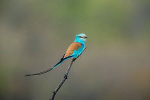 Abyssinian roller (Coracias abyssinicus) adult male,  Tendaba, The Gambia.  -  Melvin Grey