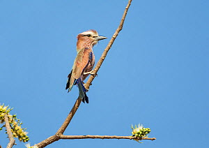 Rufous-crowned roller (Coracias naevius)  adult, perched. Tendaba, The Gambia.  -  Melvin Grey