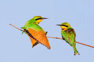 Little bee-eater (Merops pusillus) adults perched, Kotu,  The Gambia. - Melvin Grey