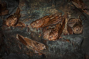 Oilbird (Steatornis caripensis) adults in nesting / roosting cave Asa Wright Field Centre,  Trinidad  -  Melvin Grey