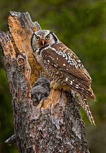 Northern hawk owl (Surnia ulula) adult at nest with young, Churchill, Manitoba, Canada, June. - Melvin Grey