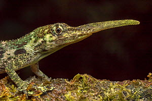 Pinocchio lizard (Anolis proboscis) male, Mindo, Ecuador. Controlled conditions. - Melvin Grey