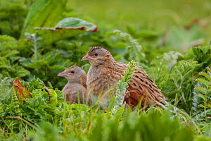 Corncrake (Crex crex) adult male and female, North Uist, Outer Hebrides, Scotland, UK.  -  Melvin Grey
