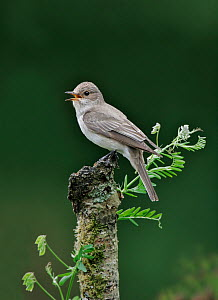 Spotted flycatcher (Muscicapa striata) adult singing in garden, on garden wall, Pembrokeshire, West Wales, UK, June.  -  Melvin Grey