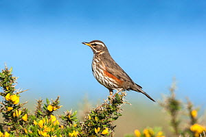 Redwing (Turdus iliacus) adult perched on gorse, Uist, Outer Hebrides, Scotland, UK, May. - Melvin Grey