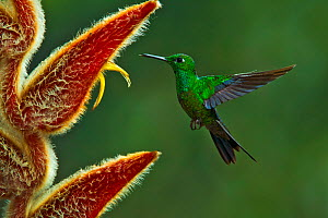 Green-crowned brilliant hummingbird (Heliodoxa jacula) hummingbird adult male flying to feed from Heliconia flower, Juan Castro National Park, Costa Rica.  -  Melvin Grey