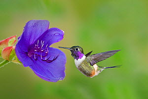 Purple-throated woodstar hummingbird (Calliphlox mitchellii) hummingbird male flying to garden flower, Mindo Loma, Ecuador - Melvin Grey