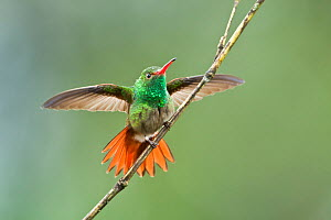 Rufous-tailed hummingbird (Amazilia tzacatl) adult male,  threat display. Milpe,  Ecuador. - Melvin Grey