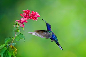 Violet sabrewing hummingbird (Campylopterus hemileucurus) hummingbird male flying, feeding from flower, Juan Castro National Park Costa Rica. - Melvin Grey