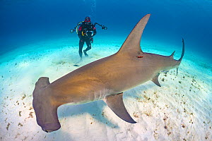 Diver (Predrag Vuckovic) is dwarfed by Great hammerhead shark (Sphyrna mokarran). This species can reach over 6m in length. South Bimini, Bahamas. The Bahamas National Shark Sanctuary. Gulf Stream, We...  -  Alex Mustard