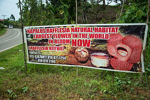 Sign for Rafflesia in flower (Rafflesia keithii), Sabah, Borneo. September 2015.  -  Adrian Davies