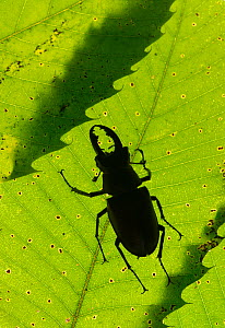 Stag beetle (Lucanus cervus) male silhouetted against leaf, controlled conditions.  -  Adrian Davies