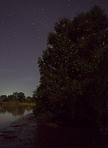 Fireflies (Pteroptyx sp) in mangrove swamp at night, with starry sky. Sabah, Borneo. - Adrian Davies