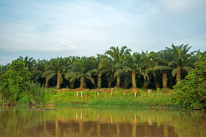 Palm oil plantation extending to bank of river. Kinabatangan river, Sabah, Borneo. September 2015.  -  Adrian Davies
