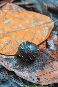Pill millipede (Glomeridae), rolled into defensive ball. Danum Valley, Sabah, Borneo - Adrian Davies