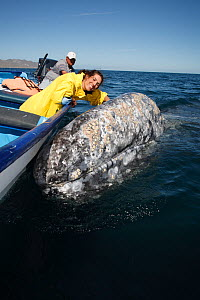 Grey Whale (Eschrichtius robustus) curious adult whale allowing tourist to rub its head, Magdalena Bay, Baja, Mexico.  -  Brandon Cole