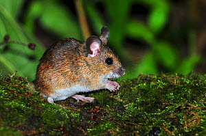 Adult Wood mouse (Apodemus sylvaticus) Dorset, UK August.  -  Colin Varndell