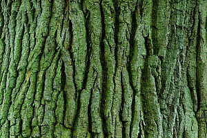 Detail of bark texture on mature Horse chestnut (Aesculus hippocastanum) tree in field near Upton Country Park, Dorset, UK, May.  -  Colin Varndell