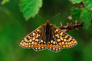 Marsh fritillary butterfly (Euphydryas aurinia) butterfly at rest. Dorset, UK June. - Colin Varndell