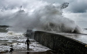 Surfer entering the sea with large waves breaking over the jetty during an easterly gale, Criccieth, Gwynedd, North Wales, September 2013.  -  Graham  Eaton
