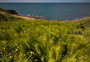 Common Horsetail (Equisetum arvense) growing on the Llyn Peninsular coast, near Nefyn, North Wales  -  Graham  Eaton