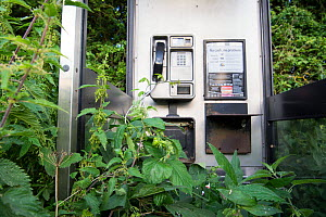 Out of use BT telephone box, overgown and surronded by vegetation, Norfolk, England UK. August - Gary  K. Smith