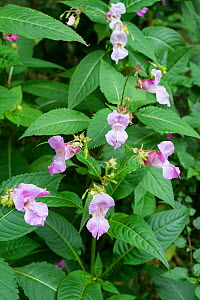 Himalayan balsam  (Impatiens glandulifera) flowers Cheshire, England UK. September. Invasive species.  -  Gary  K. Smith