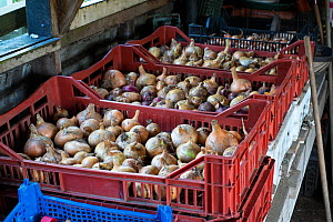 Onions stored in pallets in outbuilding, Norfolk, England UK. October  -  Gary  K. Smith