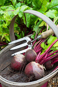 Wooden trug and hand fork with Beetroot 'Pablo' (Beta vulgaris), Norfolk, England UK. July  -  Gary  K. Smith