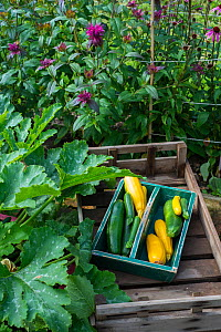 Wooden trug with freshly harvested home grown green and yellow courgette (Cucurbita pepo) varieties, Norfolk, England UK. July  -  Gary  K. Smith