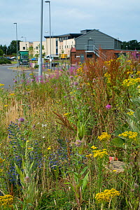 Wasteland on industrial estate with wildflowers including Ragwort  (Senecio jacobaea), Teasel (Dipsacus fullonum) and Viper's bugloss (Echium vulgare) Norfolk, England UK. July - Gary  K. Smith