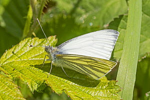Male Green veined white butterfly (Pieris napi) sunning on leaf, Brockley Cemetery, Lewisham, London, England, April. - Rod Williams