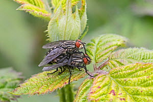 Flesh fly (Sarcophaga sp) pair mating on bramble leaf, Brockley Cemetery, Lewisham, London, England, May. - Rod Williams