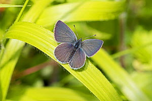 Male Small blue butterfly (Cupido minimus) resting with wings open on leaf, Hutchinson's Bank, New Addington, London, England, June.  -  Rod Williams