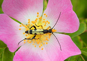 Longhorn beetle (Rutpela / Strangalia maculata) feeding on Dog rose flower, Hutchinson's Bank, New Addington, London, England, June. - Rod Williams