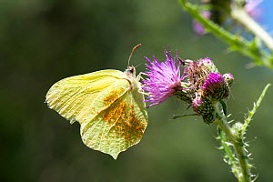 Common brimstone (Gonepteryx rhamni), with pollen attached to its wing, nectaring on Marsh Thistle (Cirsium palustre), Province of Leon, Spain. June.  -  Will Watson