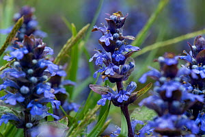 Bugle (Ajuga reptans) in flower, ancient woodland, Worcestershire, England, UK, May.  -  Will Watson