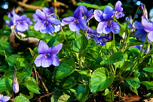 Common Dog Violet (Viola riviniana) in flower, Herefordshire, England, April.  -  Will Watson