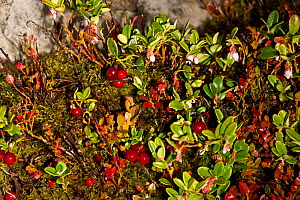 Wild Cranberry (Vaccinium oxycoccos), fruit and flowers and Bilberry (Vaccinium myrtillus), growing on the Stiperstones National Nature Reserve, Shropshire, England, UK, September,  -  Will Watson