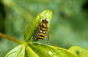 Docklow hoverfly (Eupeodes corellae) on leaf, England, UK, July. - Will Watson