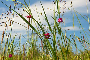 Grass-leaved vetchling (Lathyrus nissolia), flowering amongst Rough Meadow-grass (Poa trivialis), Worcestershire, England, UK, June.  -  Will Watson